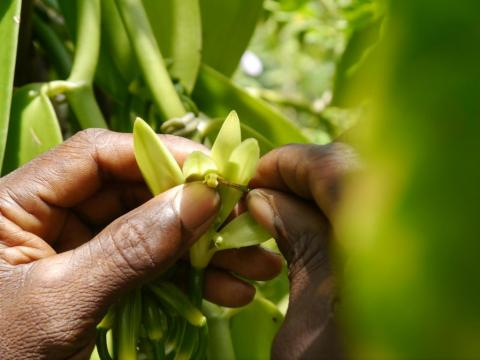FIRMENICH INVESTS IN SECOND MAJOR VANILLA PROJECT TO IMPROVE THE LIVELIHOODS OF FARMERS IN MADAGASCAR